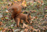 the squirrel hides the walnuts in the ground for the winter