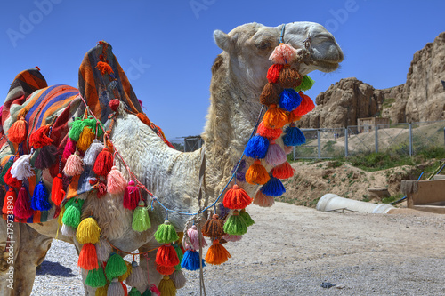 Fotobehang Kameel Home camel is decorated with tassels of different colors, Iran.