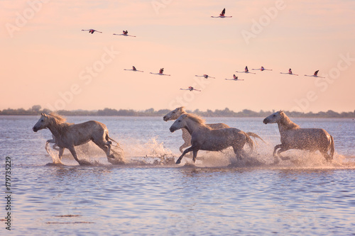 Beautiful white horses running on the water against the background of flying flamingos at soft sunset light, Parc Regional de Camargue, Bouches-du-rhone, Provence - Alpes - Cote d'Azur, south France © larauhryn