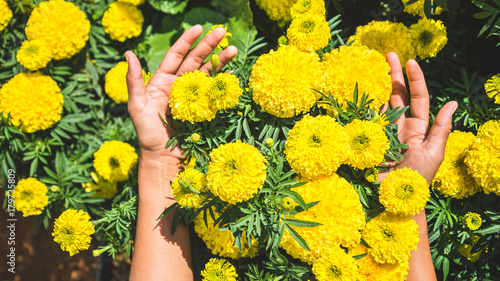 Staande foto Geel Asian women hand touch yellow flower. flowers Tagetes erecta. Thailand