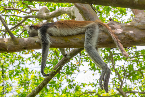 Poster Zanzibar Wild Red Colobus monkey sleeping on a tree branch in tropical forest on Zanzibar. Lazy concept.