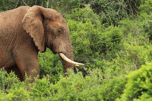 An African elephant in the Addo Elephant National Park near Port Elizabeth, South Africa Poster