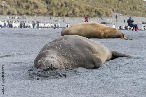 Fotobehang Zwaan Sea elephant