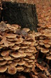 Mushrooms in a fall forest