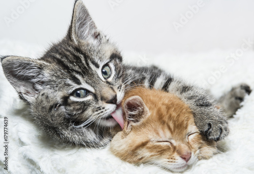 Two kittens cuddling Poster