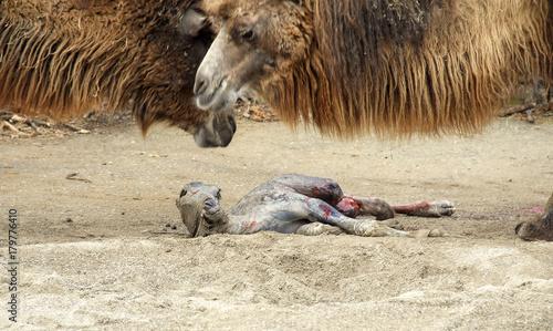 Fotobehang Kameel Camel giving birth 02