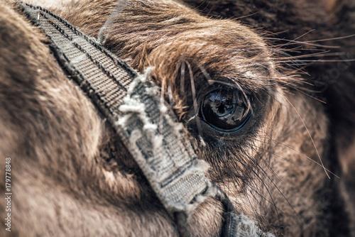 Fotobehang Kameel Close-up of a camel's eye