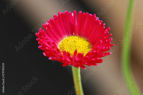 Fotobehang Gerbera Pink Bellis flower