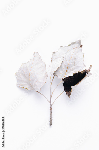 The leaves of white poplar on white background - 179801485
