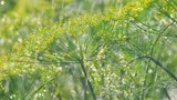 Inflorescence of dill under rain - 179810267
