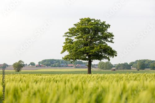 Fotobehang Wit Eichenbaum steht frei zwischen Feldern