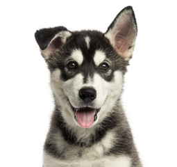 Close-up of a Husky malamute puppy panting, looking at the camera, isolated on white
