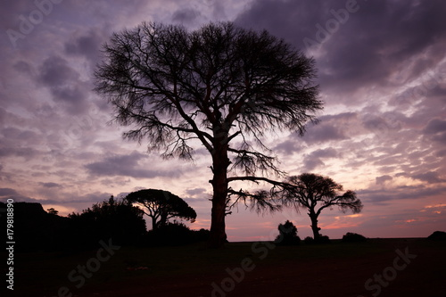 Fotobehang Baobab Tree with a transparent crown on a sunset background
