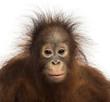 Close-up of young Bornean orangutan facing, looking at the camer
