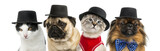 Group of cats and dogs wearing a black hat - 179821630