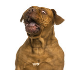 Close-up of a Dogue de Bordeaux making a face, isolated on white