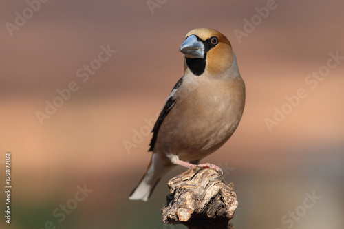 Hawfinch at feeding point Poster