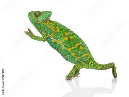 Fotobehang Kameleon Yemen chameleon on hind legs - Chamaeleo calyptratus - isolated