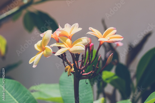 Fotobehang Plumeria Beautiful picture of frangipani plumeria flowers in the garden of balinese house, Bali island, Indonesia.