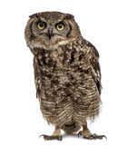 Spotted eagle-owl - Bubo africanus (4 years old) in front of a w - 179827429