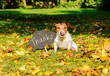 Thanksgiving concept with dog on fall leaves and plate with