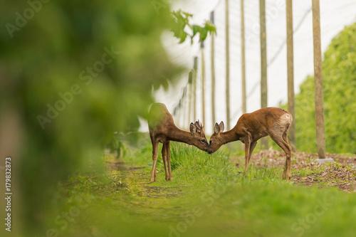 Fotobehang Hert Kiss between deers