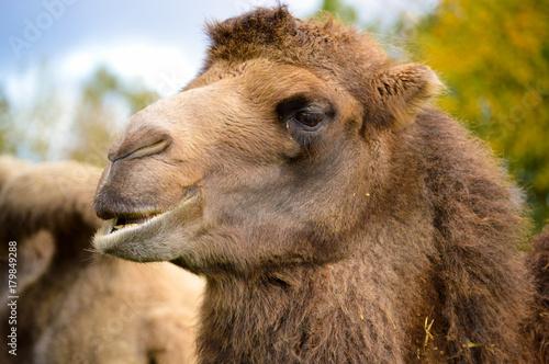 Fotobehang Kameel kauendes Kamel