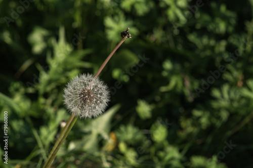 Fotobehang Paardebloemen Pissenlit dans la forêt