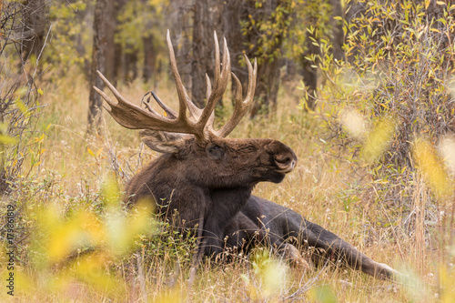 Bull Shiras Moose Bedded in Fall Poster