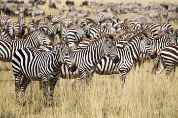 Zebraherde Serengeti