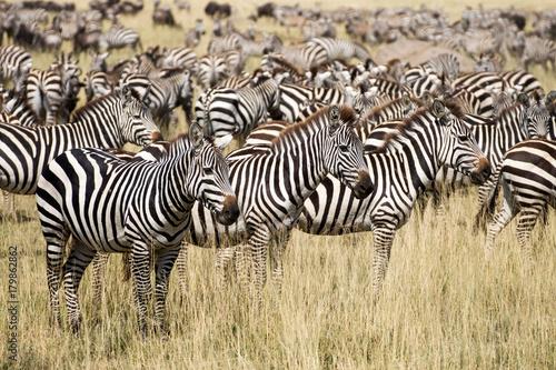 Zebraherde Serengeti Poster