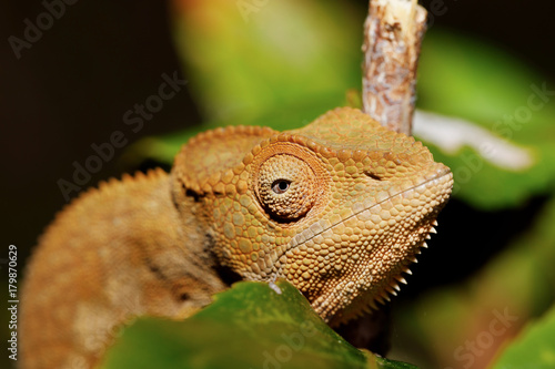 Fotobehang Kameleon beautiful panther chameleon, Madagascar