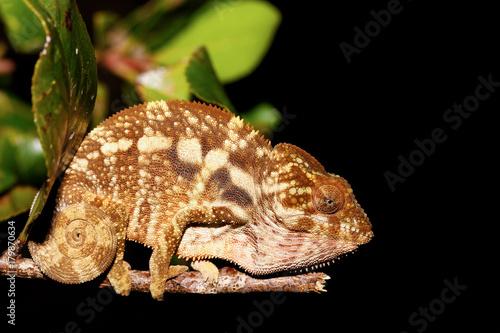 Aluminium Kameleon beautiful panther chameleon, Madagascar