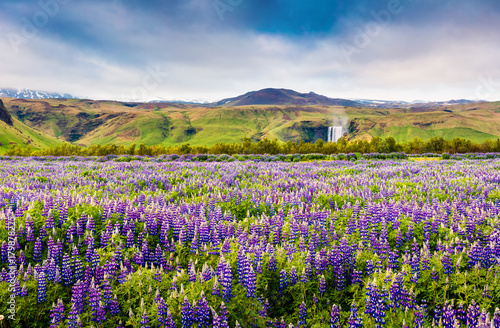 Blooming lupine flowers near amazing Skogafoss waterfall in south Iceland, Europe - 179878225