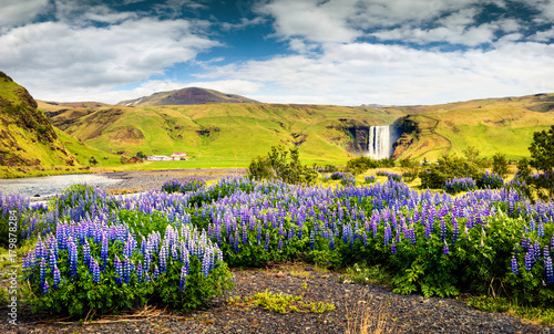 Blooming lupine flowers near amazing Skogafoss waterfall in south Iceland, Europe - 179878284