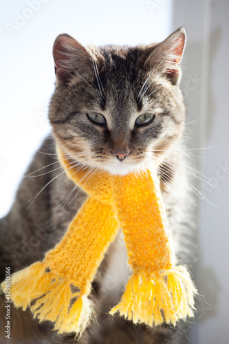 tabby kitten in yellow scarf on a white background, smoky cat in knitted scarf, isolated on white