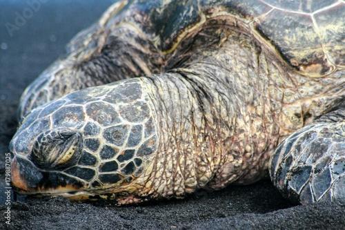 Fotobehang Schildpad Black Sand Sea Turtle