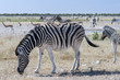 Group of zebras / Herd of zebras in Etosha National Park, Africa.