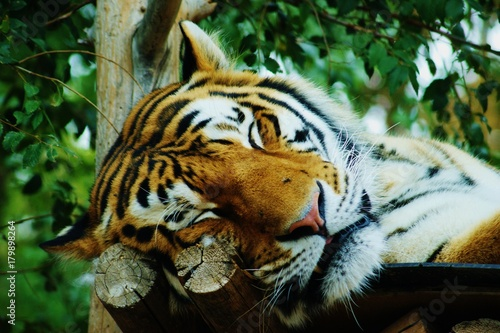 Tuckered Out Tiger Poster