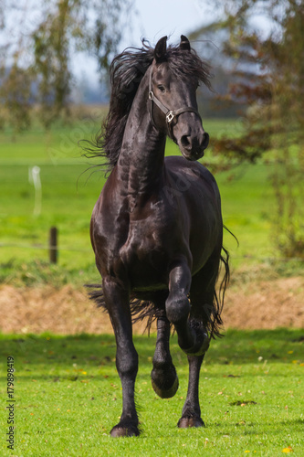 Poster Young Frisian Stallion