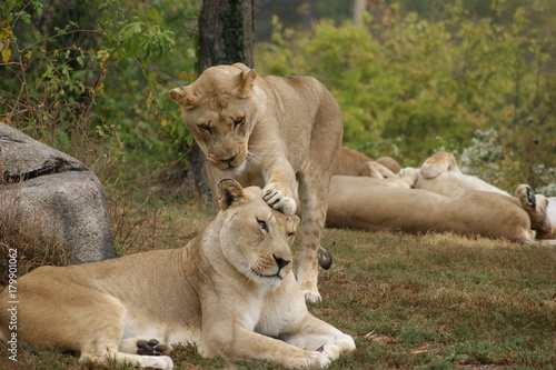 Fotobehang Lion Head Bop