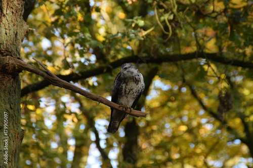 Buzzard bird of prey in a tree in the forest Poster