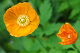 Island Mohn in orange