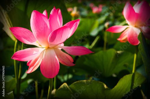 Lotus flower closeup Poster