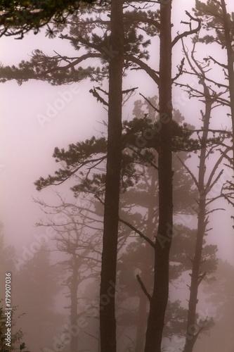 Aluminium Herfst Pine trees fog