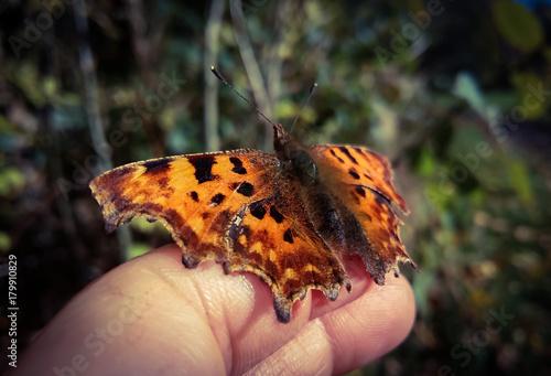 Fotobehang Vlinder comma butterfly
