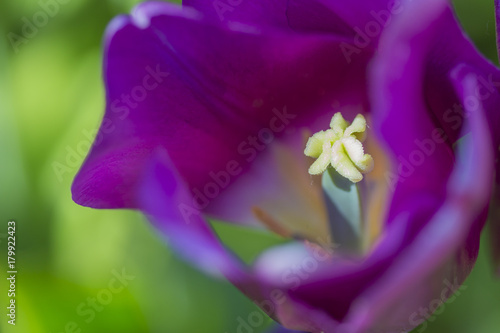 Plexiglas Violet Macro Closeup Shot of National Dutch Tulips Of The Selected Sorts Shot Against Blurred Background. Located in Keukenhof National Flowers Park in the Netherlands.