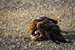 Golden eagle attacked a rabbit and killed him.
