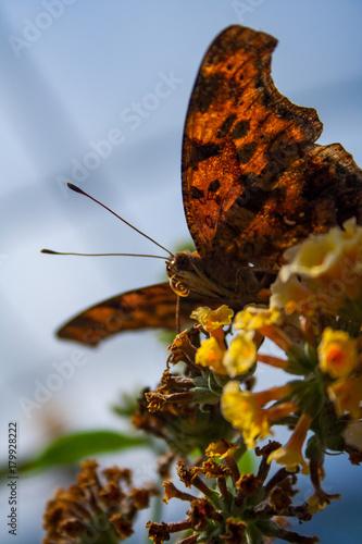 Fotobehang Vlinder Moth on Flower, Close Up