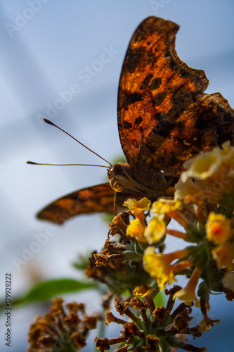 Aluminium Vlinder Moth on Flower, Close Up